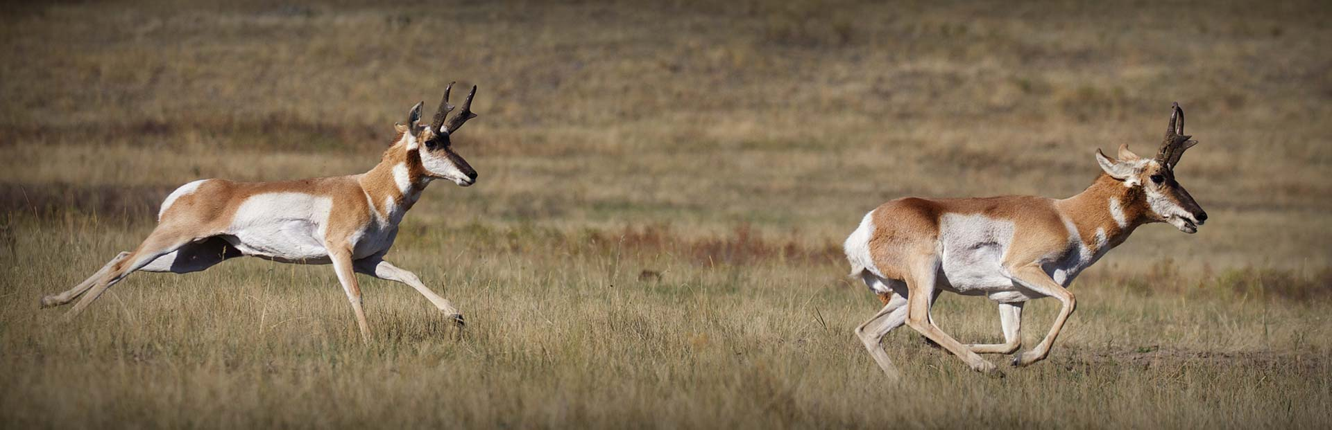 Colorado Pronghorn Antelope Hunting